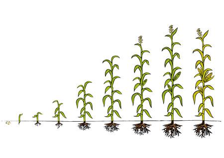 crecimiento: Diagrama de Desarrollo del Maíz - etapas de crecimiento Vectores