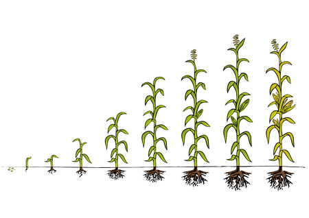 plants growing: Maize Development Diagram - stages of growth