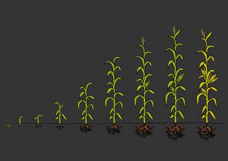 planta de maiz: Diagrama de Desarrollo del Maíz - etapas de crecimiento Vectores