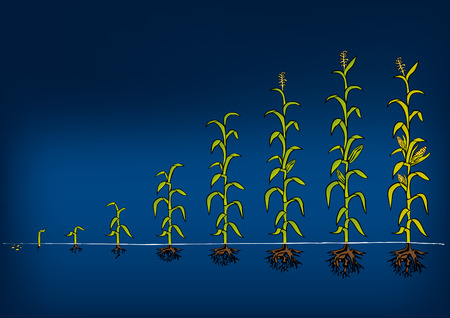 growing plant: Maize Development Diagram - stages of growth