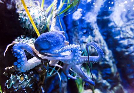 mollusc: Octopus cephalopod mollusc in Aquarium