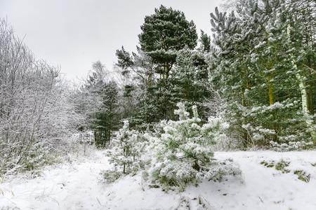 jurmala: Winter pine forest in Jurmala , Latvia