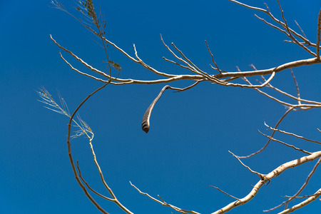nilotica: Egyptian Acacia. Vachellia nilotica at winter season Stock Photo