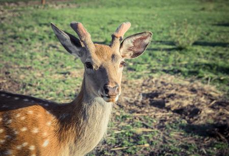 sika deer on pasture