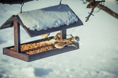 Sparrows on a feeder in winter