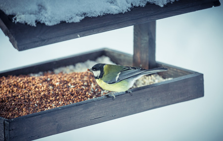 Great tit Parus Major on a feeder in winter