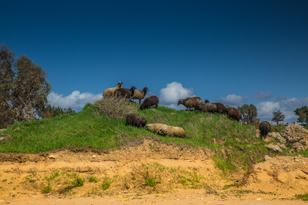 Rams and sheeps on a green hill