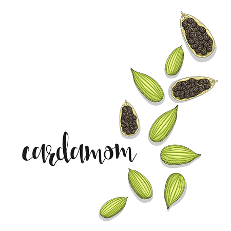 mustard seed: Cardamom isolated object sketch. Spice for food. Culinary seasoning . Spices for cooking. The plant for culinary dishes . Seasoning for food . Spices for cooking