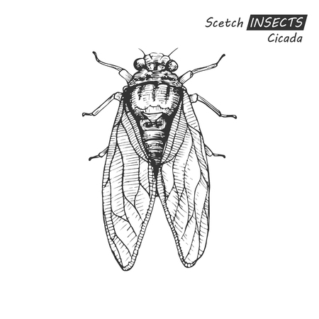 Hand drawn cicada. Illustration