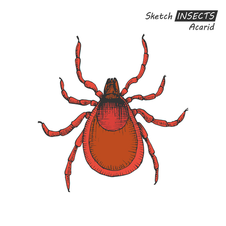 lyme disease: Hand drawn ink sketch of acarid isolated on white background. Vector illustration. Drawing in vintage style. Illustration