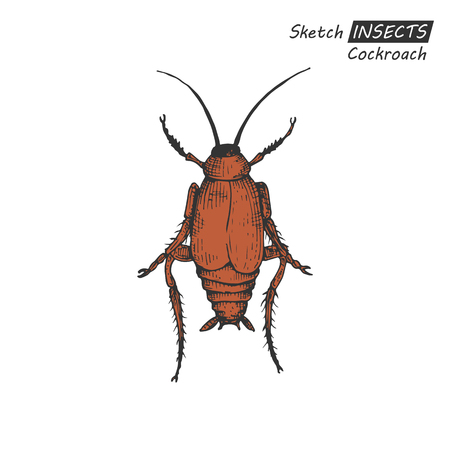 nuisance: Hand drawn ink sketch of cockroach isolated on white background. Vector illustration. Drawing in vintage style.