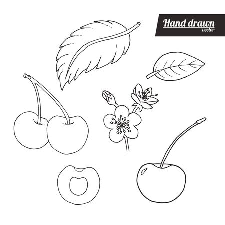 Hand drawn sketch style cherry set. Vintage cherry vector illustration. Sliced cherry, flower and leafs. White background.