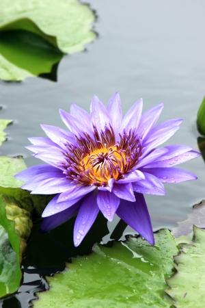 Focus on lotus,Lotus name Stock Photo - 14479305