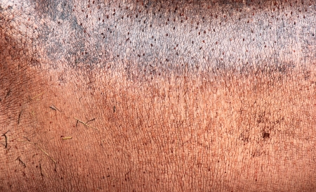 Texture of rugged and rough skin of a hippopotamus