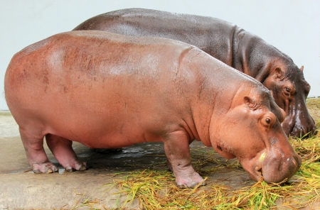 Two hippopotamus eating grass in Dusit zoo, Bangkok, Thailand photo