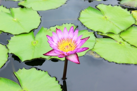 The beautiful purple water lily with a bee on the water's surface
