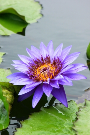 The beautiful violet water lily, Lotus name  Violet Blue , which celebrate the honor of Her Majesty Queen Sirikit