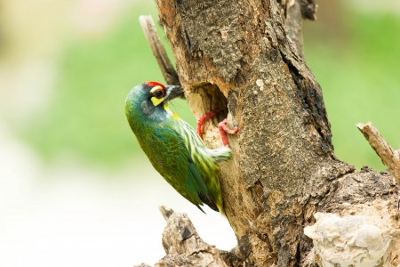 Focus on pinion, coppersmith barbet bird had a body about 16 cm living in a hollow tree eat fruits and seeds  photo