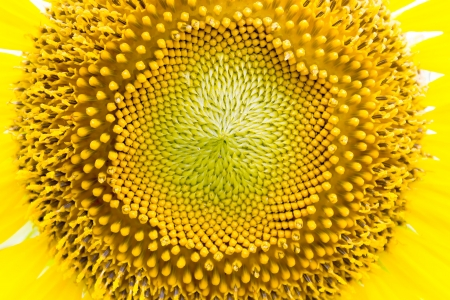 Bright yellow sunflower pollen. Stock Photo - 16888723