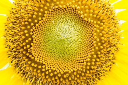 Bright yellow sunflower pollen. Stock Photo - 16888723
