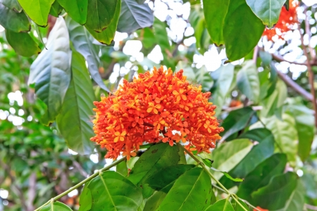 Ixora or spp  have colour orange red  white yellow pink.
