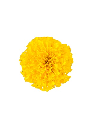 tagetes: Marigold or Tagetes erecta in yellow Stock Photo