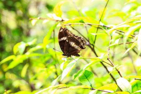 It name  Black Kaiser Family Nymphalidae sub Family Satyrinae and Species Penthema binghami  Stock Photo