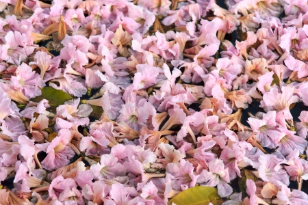 It name  Tabebuia rosea ,Pind tecoma,   Pink trumpet tree,Rosy trumpet-tree and have pink same  Cherry blossum Stock Photo
