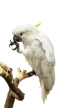 Cockatoo is white skin  and  naughty habit photo