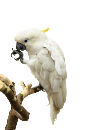 Kaketoe is witte huid en ondeugende gewoonte