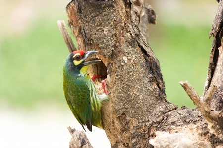 Focus on pinion, coppersmith barbet bird had a body about 16 cm living in a hollow tree eat fruits and seeds. photo
