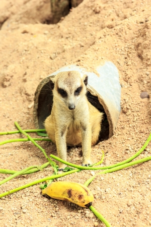 Meerkat or suricata suricatta it is found  in south africa  and eat beetles. Stock Photo