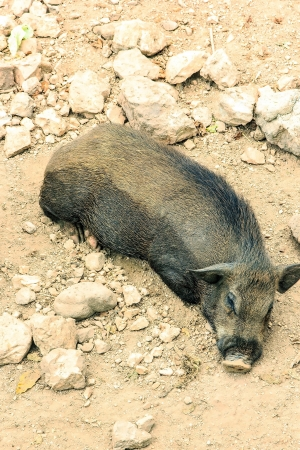 omnivores:  Wild boar or Wild pig or Sus scrofa it stay in forest itt have black hair and petite Stock Photo