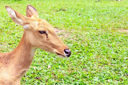 Barking deer or  Muntjac it stay around in india and china.