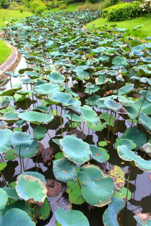 meditaion: Leaf lotus on swamp of garden it have green colourful