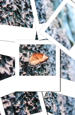 It name  Black Kaiser Family Nymphalidae sub Family Satyrinae and Species Penthema binghami process nstant photo style Stock Photo