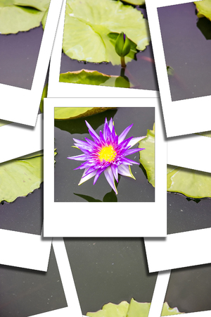 Lotus pink on pot on the sun process instant photo styhle