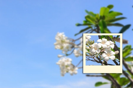 Focus on Frangipani  and background sky.process blur style and instatnt  photo Stock Photo