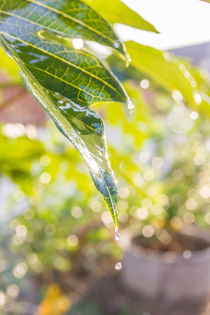 Drop water from leaves in day time and boke