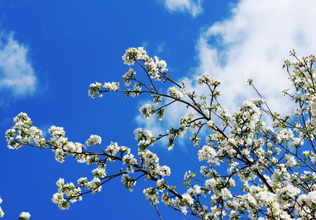 Blooming apple tree perfumed spring on the blue sky Фото со стока