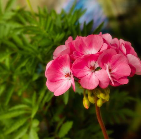 pedicel: Beautiful pink flower geranium amid a green garden  Stock Photo