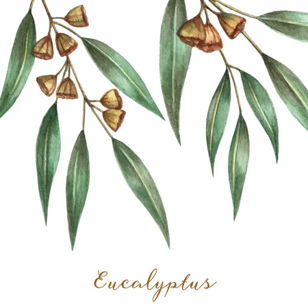 eucalyptus: Watercolor eucalyptus leaves and branches. Vector illustration.