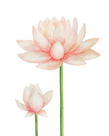white water lilies: Watercolor pink Lotus flower, vector illustration.Isolated on a white background. Illustration