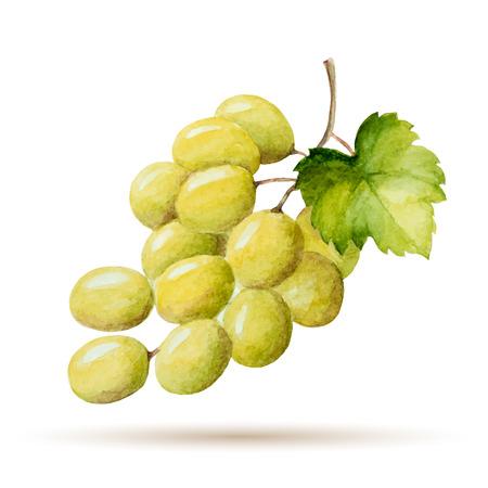 Aquarelle succursales raisins jaunes, vector illustration isolé sur fond blanc. Banque d'images - 36870375