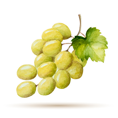 Watercolor branch yellow grapes, vector illustration isolated on white background.