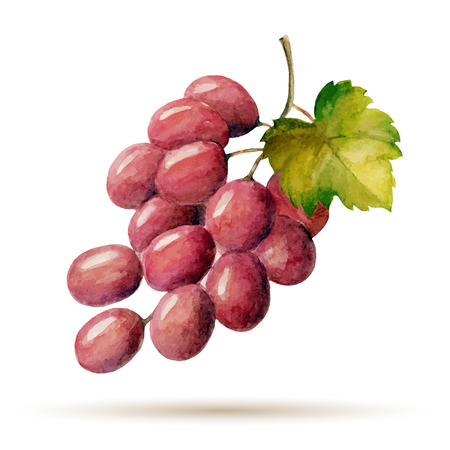 Watercolor branch red grapes, vector illustration isolated on white background.