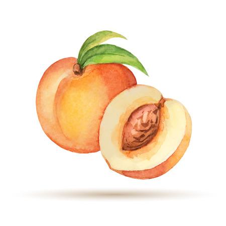 durazno: Peach elaborado a mano acuarela sobre un fondo blanco Vectores