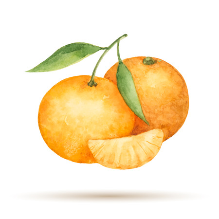 mandarin: Mandarin hand drawn watercolor on a white background