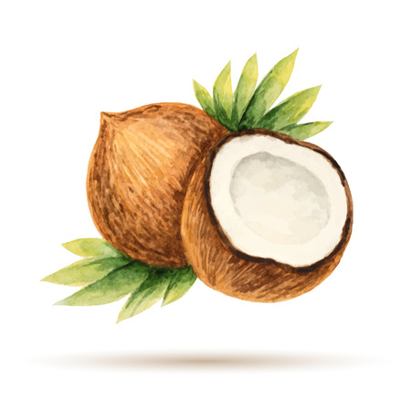 Coconut hand drawn watercolor on a white background