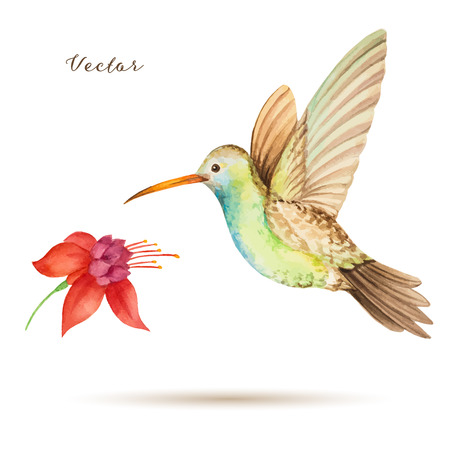 pollination: Hummingbird flying over a flower fuchsia, watercolor, vector illustration.
